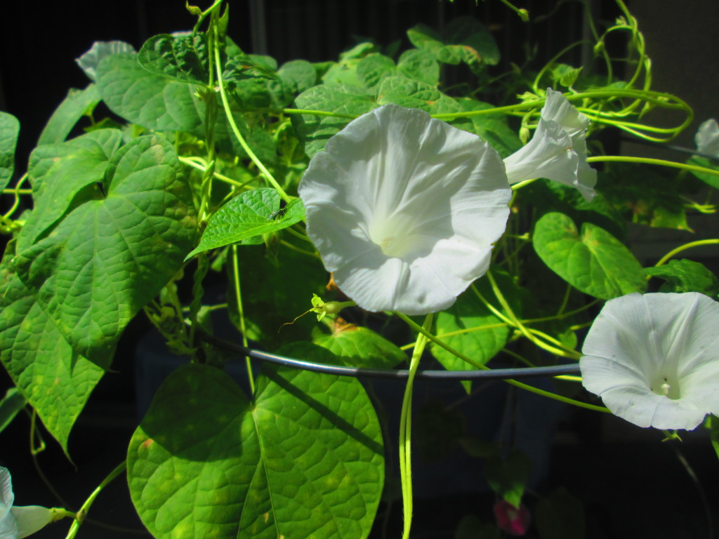 White Morning Glories